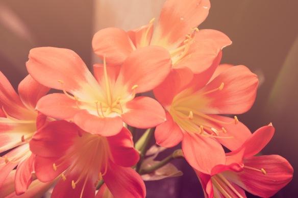 flors roses